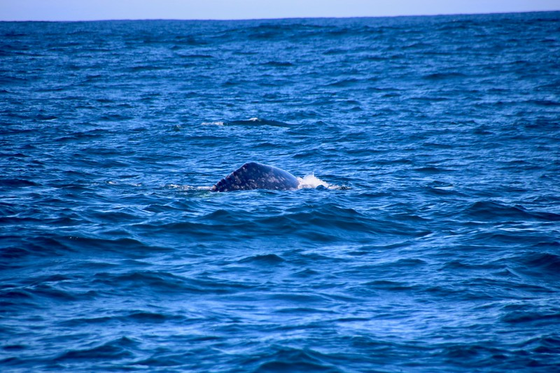 California Gray Whale - Monterey, California