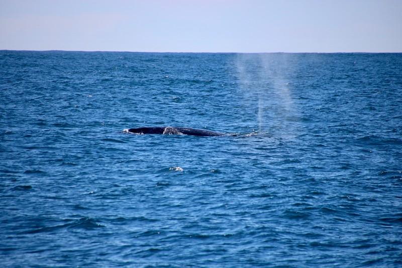 Whale spouting - Monterey, California