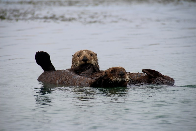Otters in Morro Bay