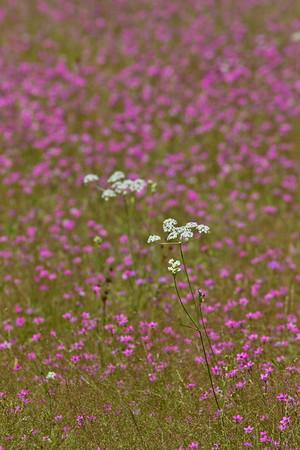 Splendor in the Meadow