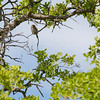 Northern pygmy owl<br /> <br /> This fellow was awake and calling a one note hoot.