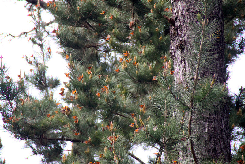 Pacific Grove - Monarch Butterfly Sanctuary