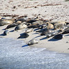 Harbor Seals