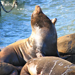 California Sea Lion at Pier 39 – San Francisco, California – Daily Photo
