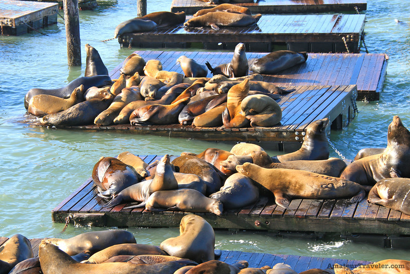 Pier 39 California Sea Lions