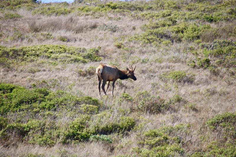 Tule Elk Preserve at Tomales Point