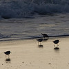 western plover - I think