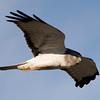 Northern Harrier - Circus cyaneus (male)<br /> Chimney Rock