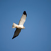 Northern Harrier - Circus cyaneus (male)<br /> Chimney Rock