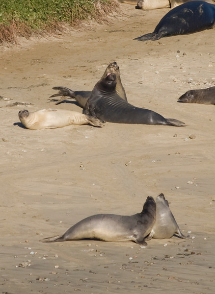 Elephant Seals - Chimney Rock