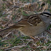 Zonotrichia leucophrys<br /> White-crowned Sparrow