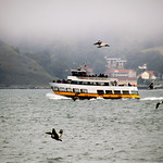Tour Boat and Pelicans – San Francisco, California – Daily Photo