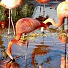 Flamingos at Safari West