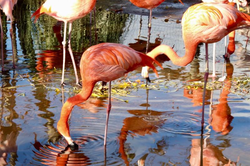 Flamingos at Safari West