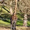 Giraffe at Safari West