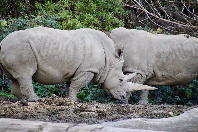 Rhinos at Safari West