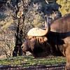 cape buffalo at Safari West