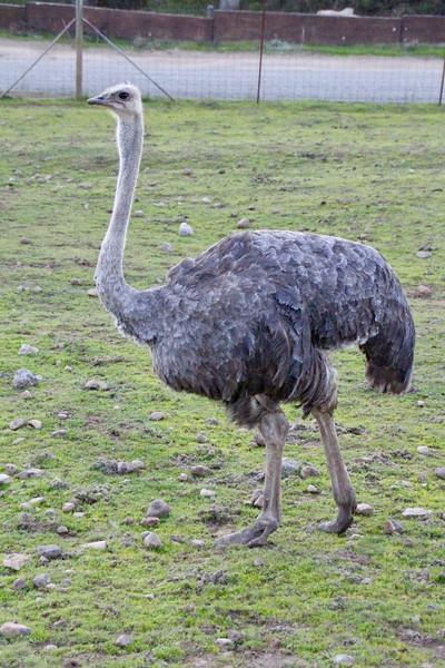 ostrich at Safari West