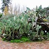 Spinless cactus - Luther Burbank Home & Gardens