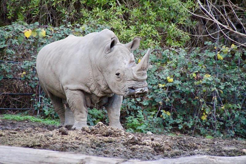 Rhino at Safari West