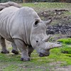 Rhino at Safari West