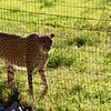 Cheetah at Safari West