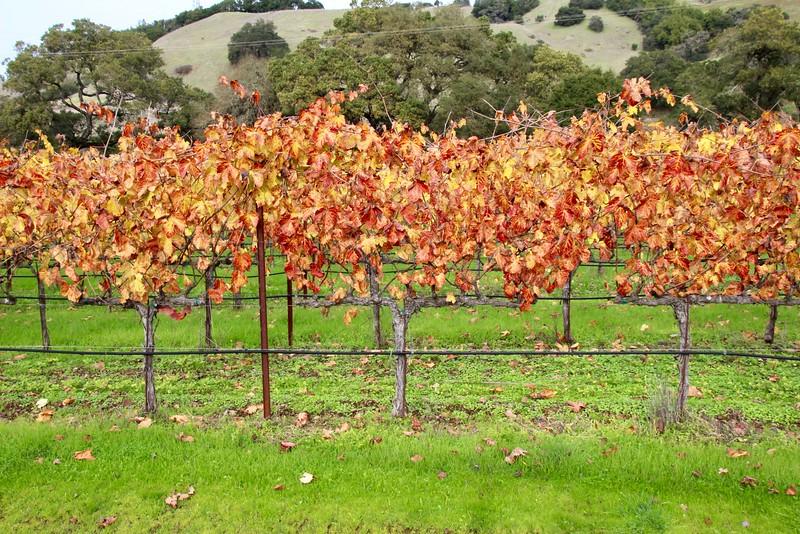 vines at Paradise Ridge Winery