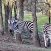 Zebras at Safari West