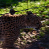 Cheetah at Safari West