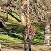 Giraffe at Safari West