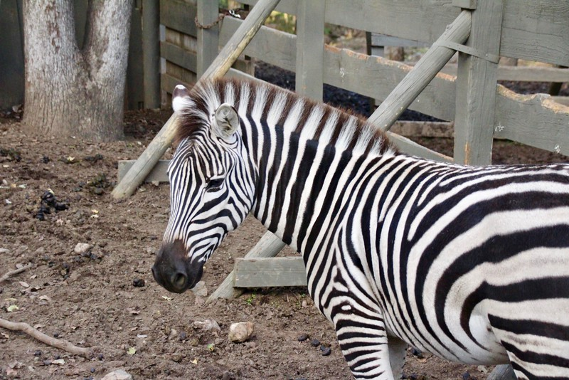 Zebra at Safari West