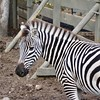 Zebra at Safari West