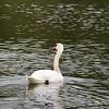 swan at Spring Lake  park