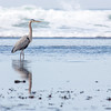 Heron, Half Moon Bay, California