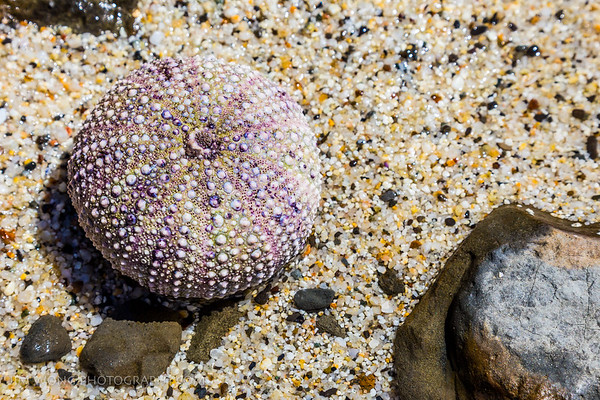 Sea urchin shell, Moss Beach, California