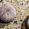 Sea urchin shell, Moss Beach, California
