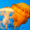 South American sea nettle, Monterey Bay Aquarium