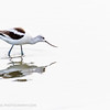 Avocet, Byxbee Park, California