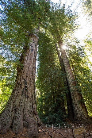 Coastal Redwood Trees, Big Basin State Park, Santa Cruz County, California