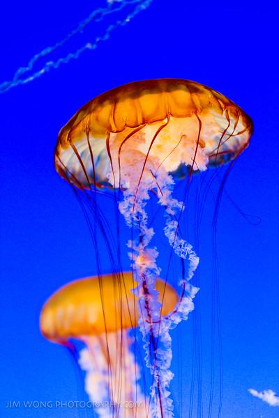Pacific sea nettle, Monterey Bay Aquarium