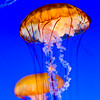 Pacific sea nettle, Monterey Bay Aquarium