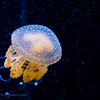 Spotted jelly, Monterey Bay Aquarium