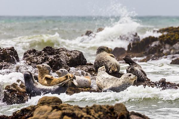 Seals, San Gregorio, California