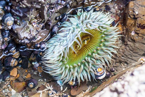 Sea anemone, Moss Beach, California