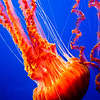 Black sea nettle, Monterey Bay Aquarium