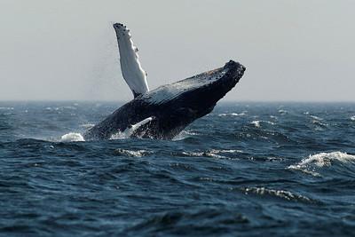 2014 26 Août La baleine et Bergeronnes