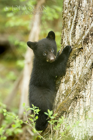 Black Bear Cub, Cades Cove, Great Smoky Mountains National Park