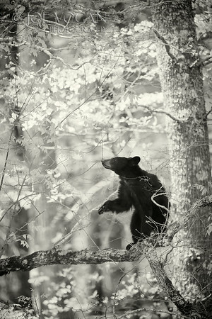 American Black Bear cub in tree, Cades Cove, Great Smoky Mountains National Park