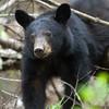 Black Bear, Great Smoky Mountains National Park