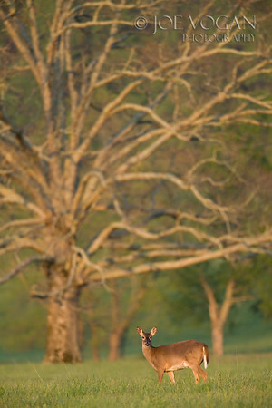 White-Tailed Deer, Cades Cove, Great Smoky Mountains National Park